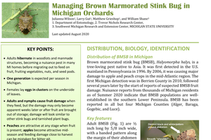 Managing Brown Marmorated Stink Bug in Michigan Orchards