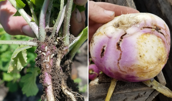 Cabbage maggots and their damage in turnips