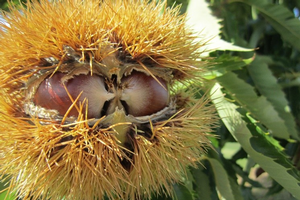 Chestnuts in the bur at harvest