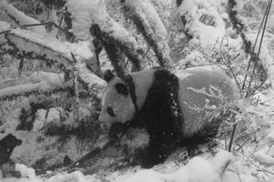 Pandas and policy featured on LiveScience