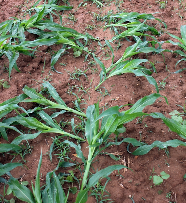Wind-driven rainfall caused significant lodging in this corn field located south of Lawton, Michigan, on Wednesday, June 18. Sidedress nitrogen operations may be impacted as this corn struggles to regain its upright position.