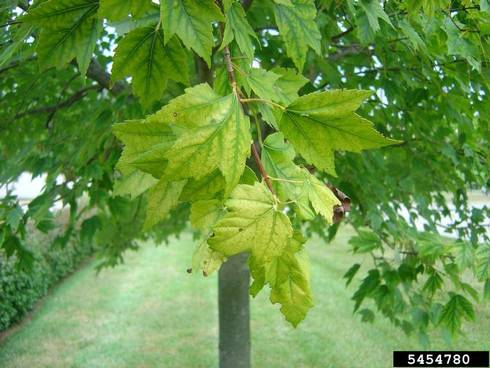 Chlorosis symptoms include a yellowing between the veins of leaves | Photo by: Jason Sharman, Vitalitree, Bugwood.org