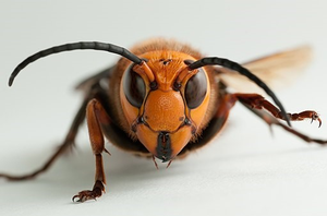 Giant wasps aren't coming for you
