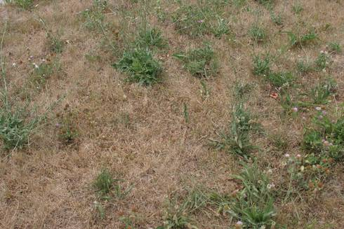 Broadleaf weeds in drought-stressed turf. All photos by Kevin Frank, MSU.