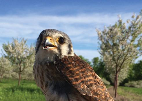 Female kestrel.