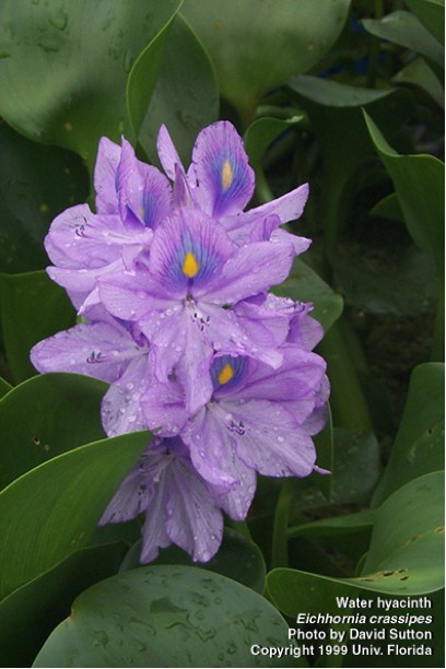 Water hyacinth plants are popular in water ponds and aquariums because of their showy lavender-blue flowers and fast growth. Photo: David Sutton, University of Florida/Center for Aquatic and Invasive Plants. Used with permission.