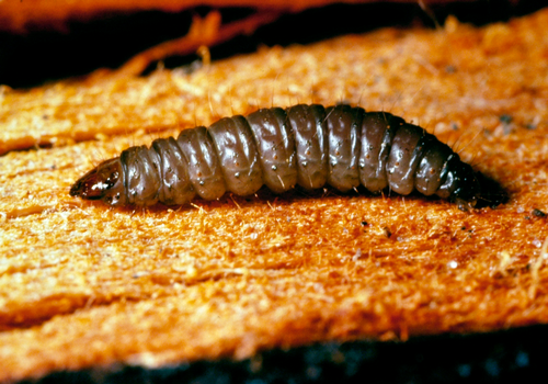 Larvae may be grayish-green to grayish-purple with a yellow to brown head capsule, cervical shield and anal plate.