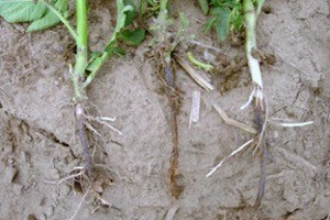 Blackleg symptoms in stem of potato plant.