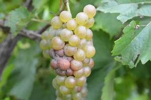 Sour rot development on Vignoles. All photos by Keith Mason, MSU.