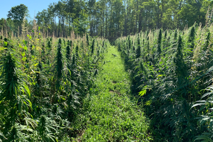 MSU, Tribal Nations, others partnering on hemp variety trials