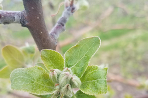 West central Michigan tree fruit update – May 7, 2019
