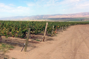 Central California vineyard with a history of fungicide resistant powdery mildew isolates to FRAC 11 (strobulurins) and FRAC 3 (DMIs) fungicide groups. Photo: Timothy Miles, MSU.