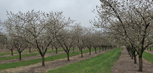Southwest Michigan fruit update – April 20, 2021