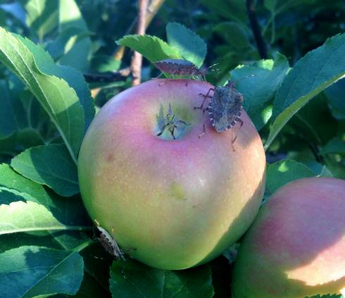 Brown marmorated stink bugs on an apple near Niles, Michigan. Photo by Bill Shane, MSU Extension.