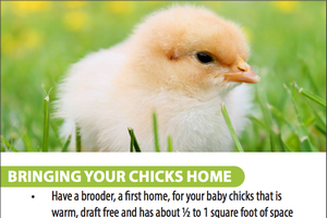 Tips for New Chick Owners
