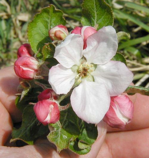 Apple blossom killed by cold temperature near 28 degrees Fahrenheit during bloom. Photo: Mark Longstroth, MSU Extension.