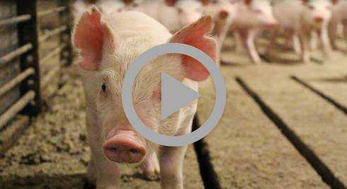 Pig, image from video