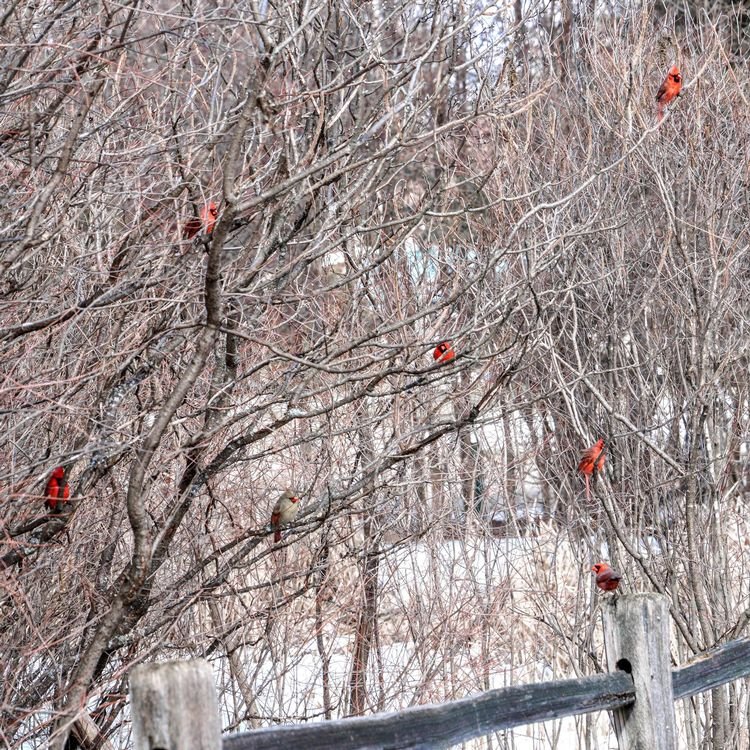 A flock of male red cardinals are scattered through a tree that has no leaves. Snow is on the ground.