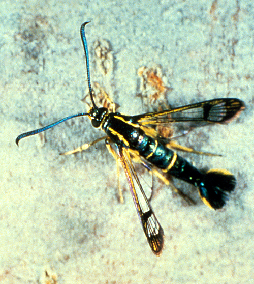 Adult is bluish-black with yellow bands and clear wings, resembling a wasp.