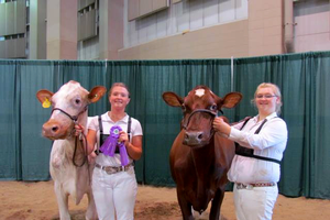 History of dairy cow breeds: Milking Shorthorn