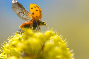 Predatory insects like ladybugs eat crop pests and help farmers reduce their need for insecticides.