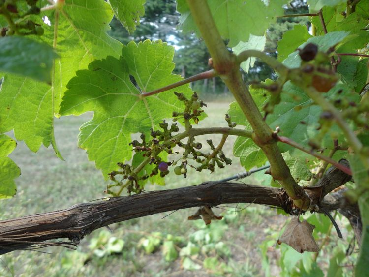 Red grape cultivars bird damage