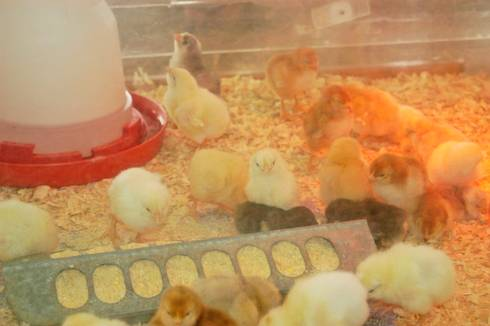 Chicks require a warm brood, fresh water and starter feed. Image courtesy of MSU Extension.