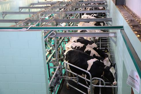 Dairy cows lined up in parlor.