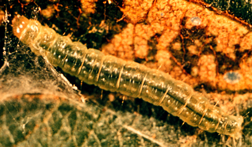 Larva is pale green with a yellow or green head.
