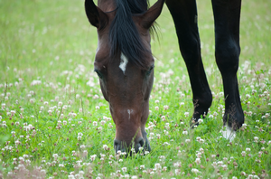 Horse grazing on clover.