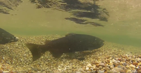 A salmon swims underwater.