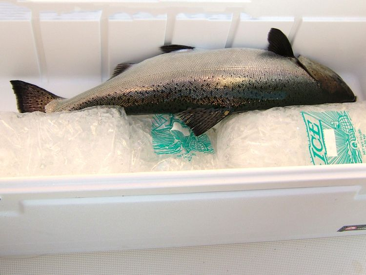 Fish should be iced down immediately to help prevent bacterial growth, spoilage -- even when the weather is cool. Photo: Michigan Sea Grant
