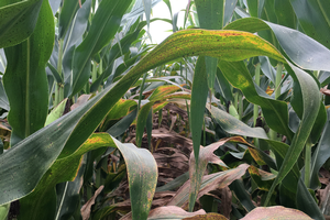 Corn tar spot outlook for 2019