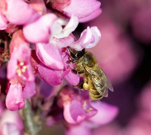 A bee visits a redbud. Photo credit: Zachary Huang, MSU