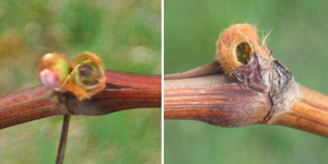 Bud swell is the time for monitoring vineyards for cutworms and flea beetles