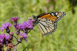 Smart Gardening to support monarchs