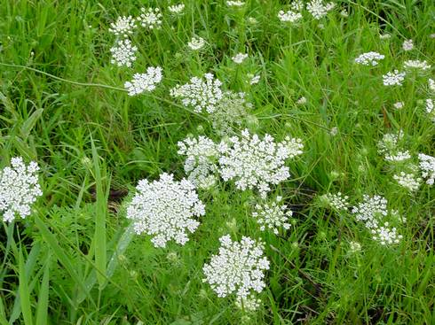 Wild carrot infestation. Photo credit: Chris Evans, Illinois Wildlife Action Plan, Bugwood.org