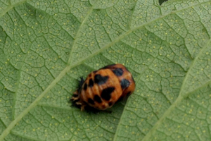 Lady bug pupa on a hop leaf. Photo by Erin Lizotte, MSU Extension