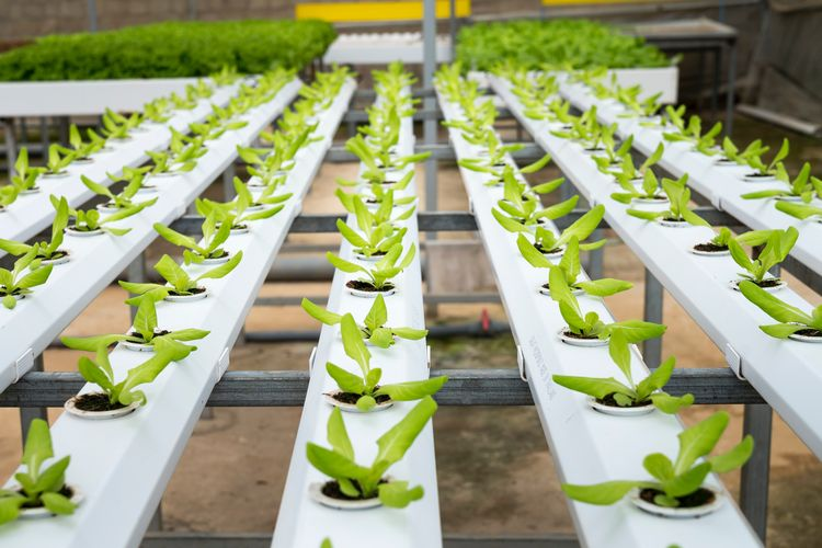Lettuce grows in an indoor hydroponic farm.