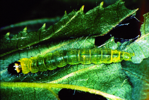 Translucent green caterpillar has a reddish- to dark-brown head and an amber to pale-green thoracic shield edged with brown.