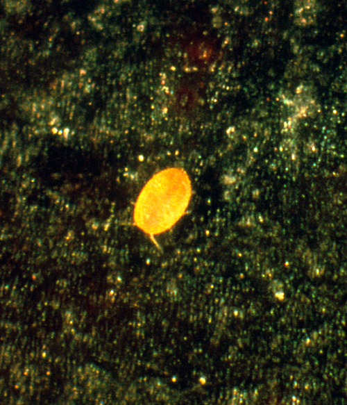 Nymphs (crawlers) are bright yellow and resemble spider mites.
