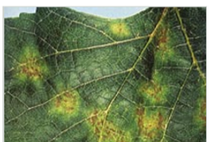 Downy mildew on the upper side of a leaf. All images from Midwest Grape Production Guide Bulletin 919.