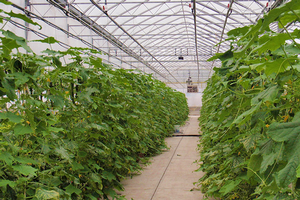 Cucumber production in a primarily floriculture greenhouse.