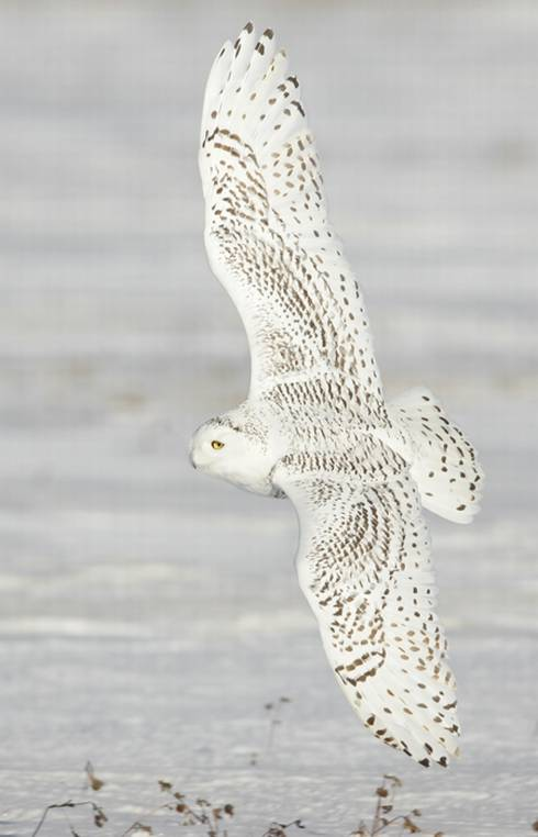 A snowy owl flies with wings fully extended over a field near water.