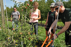 MSU students prune apple trees at the MSU Horticulture Teaching and Research Center.