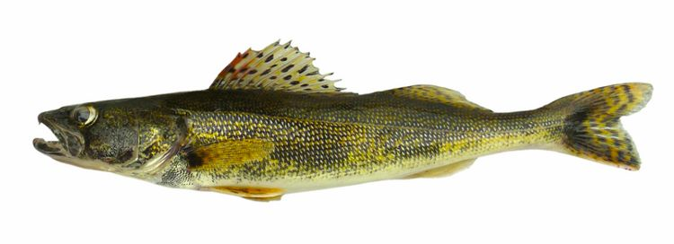Walleye stocks in Lake Erie are managed under a quota-setting process. Photo: Michigan Sea Grant
