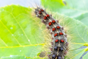 Gypsy moth caterpillars are out and about