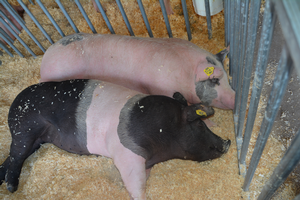 Good hygiene is important for exhibitors and the public when working with swine exhibits