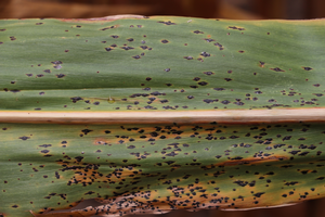 Tar spot symptoms on corn. All photos: Martin Chilvers, MSU.