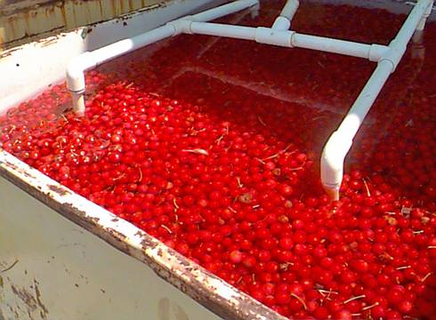 Tart cherries are cooled in cold running water to remove the field heat and the heat of respiration. Without the cold running water, the cherries would quickly cook themselves. Photo by Mark Longstroth, MSU Extension.
